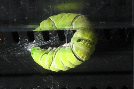 アゲハ幼虫が続々サナギに