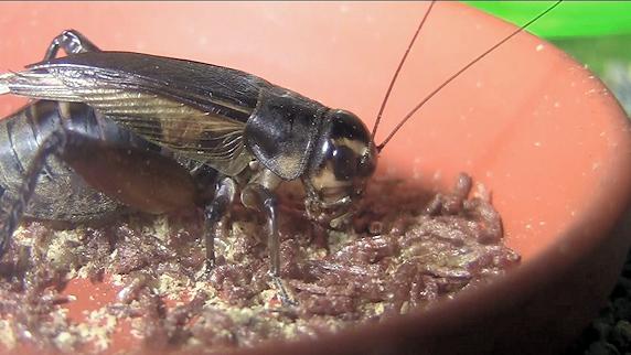 乾燥赤虫を食べるエンマコオロギの動画