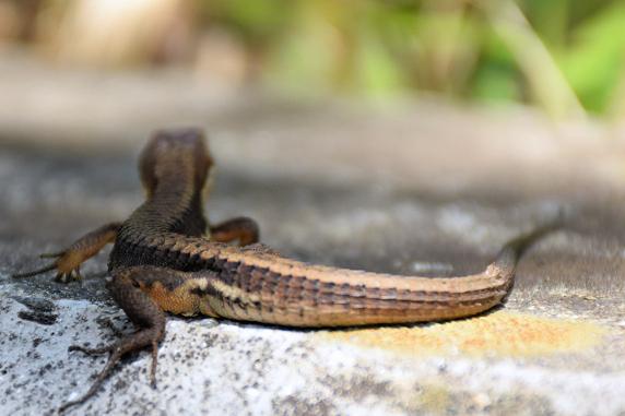 あっそ…のカナヘビ