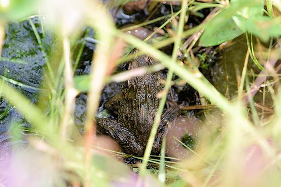 水の中からツチガエル