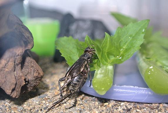 大根の葉をかじるエンマコオロギ