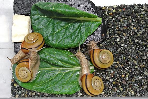 小松菜を食べるカタツムリ