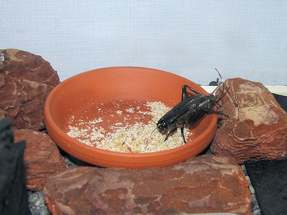 エンマコオロギの飼育環境をバリアフリー化