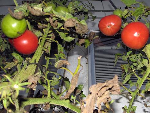 トマトの三度目の収穫