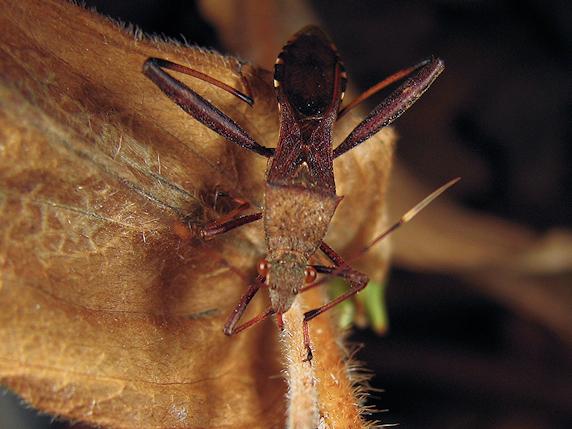 越冬中のホソヘリカメムシ