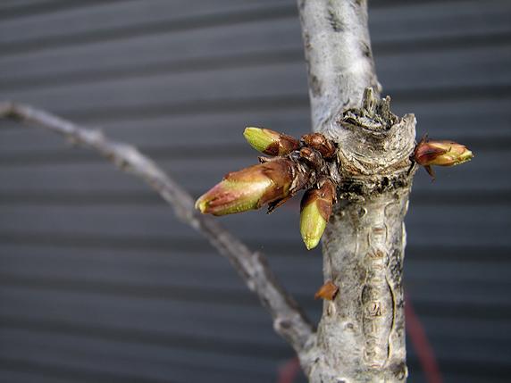 サクランボの芽が膨らむ