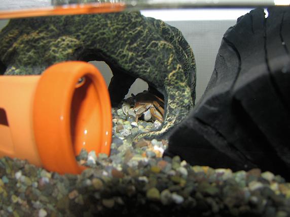 サワガニの水温を下げる方法