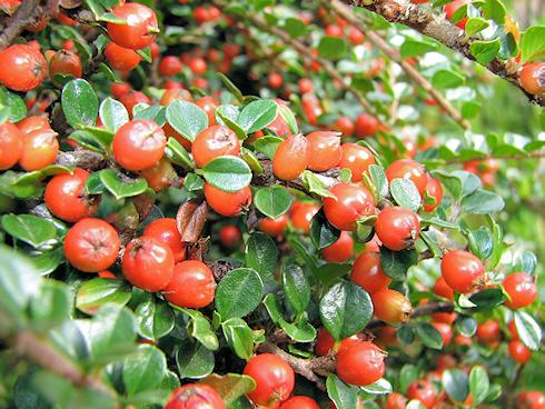 秋の真っ赤なベニシタン