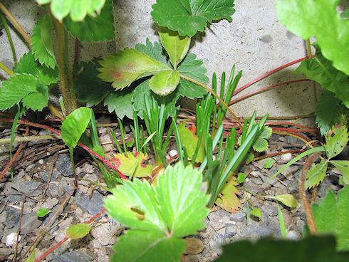 葉を伸ばすムスカリ