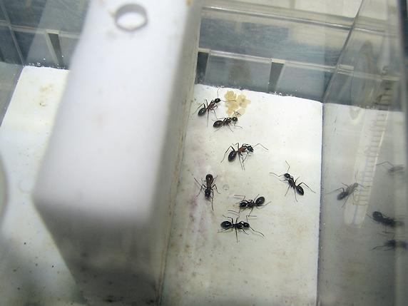 ムネアカオオアリの幼虫の生長を確認