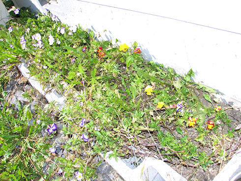 種をつける虹色スミレ