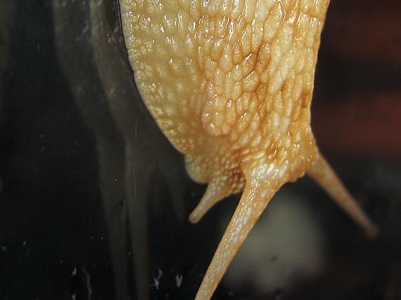 カタツムリの生殖孔