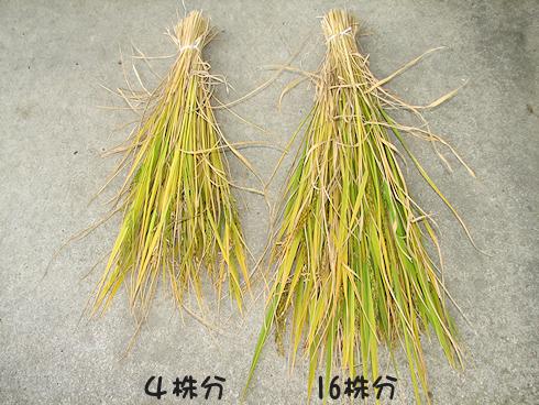 バケツ稲の稲刈り