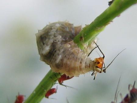 写真館-アブラムシを食べるヒラタアブの幼虫