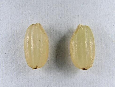 バケツ稲の脱穀