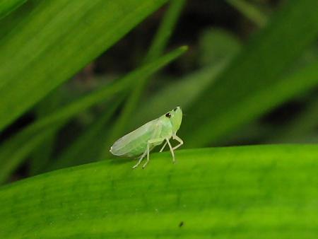 ツマグロオオヨコバイの幼虫