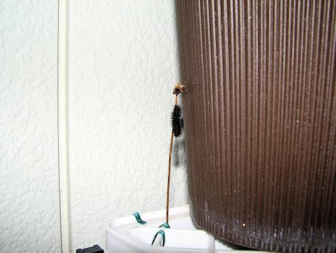 シロヒトリの幼虫を移動