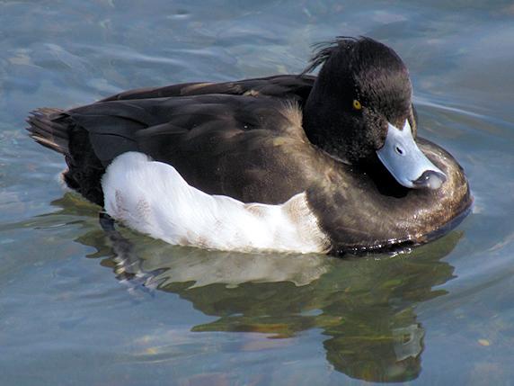 冬の水鳥たち
