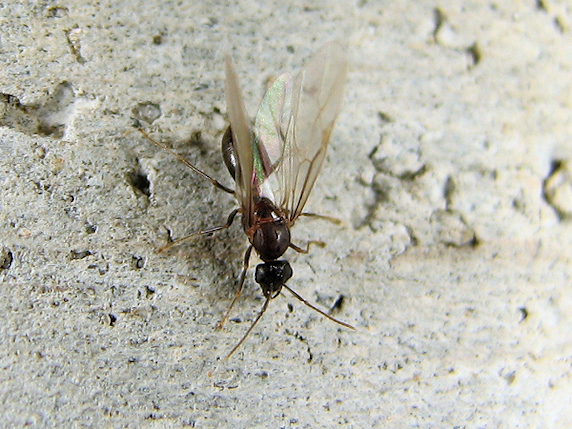 羽アリを狙うカエル