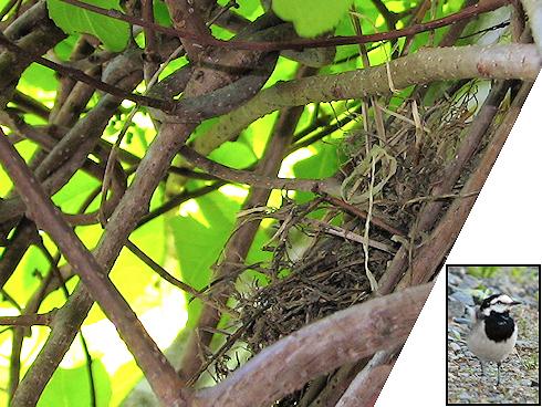 ハクセキレイが巣作り開始