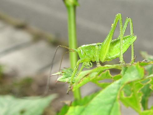 キリギリス科の幼虫