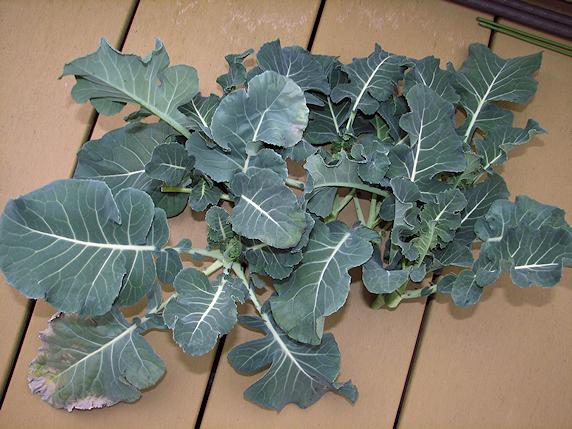 ブロッコリーの2度目の収穫