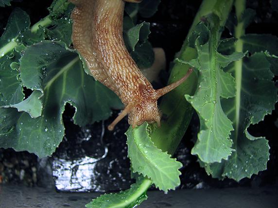 ブロッコリーの葉を食べるカタツムリ