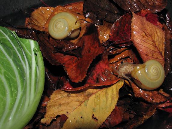 カタツムリに枯れ葉投入