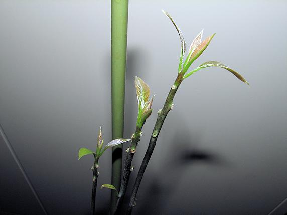 観葉植物化進行中のアボカド