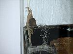 サワガニが産卵の前兆