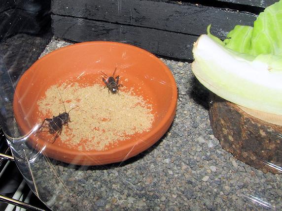 体長10mmに生長したエンマコオロギの幼虫
