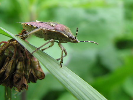 写真館-わびさびがわかるブチヒゲカメムシ