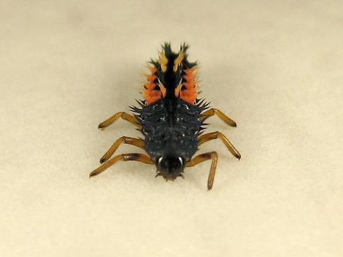 ナミテントウの4齢幼虫