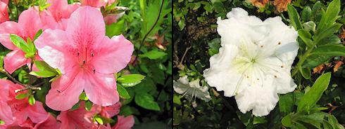 庭のサツキが開花