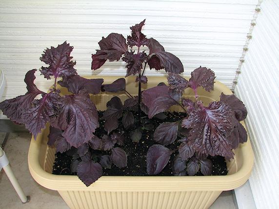 赤紫蘇の初収穫