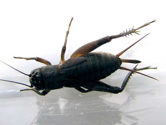 メスのエンマコオロギ幼虫を採取