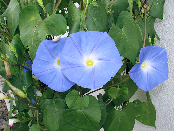 複数開花するヘブンリーブルー