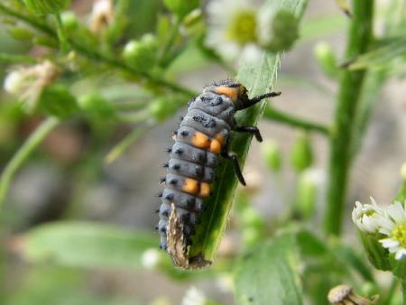 写真館-ナナホシテントウの幼虫