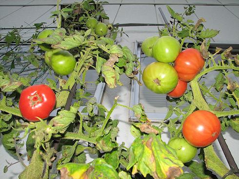 トマトの最後の実たち