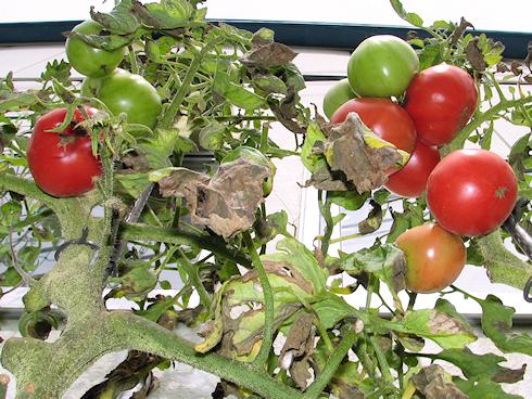 トマトの二度目の収穫