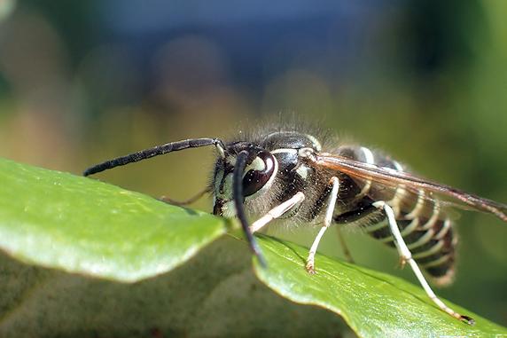 葉を舐めるクロスズメバチ