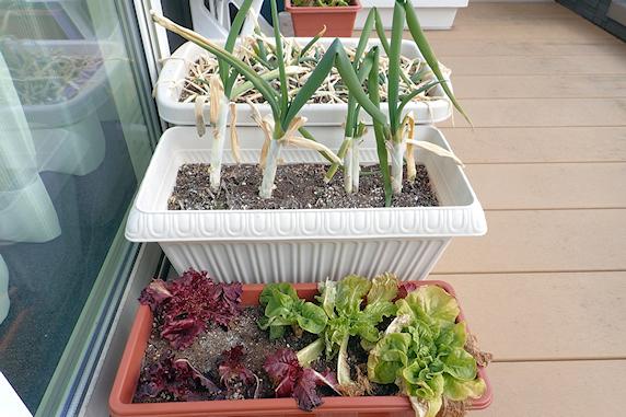 冬のベランダ菜園