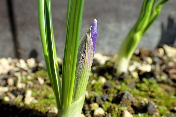 もうすぐ開花のクロッカス