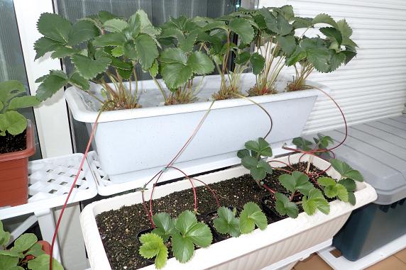 ミニトマトの初収穫と四季なりイチゴの整理