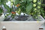 ミニトマトに鳥よけと雨よけを設置