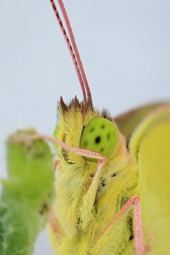 モンキチョウの羽化の瞬間の動画