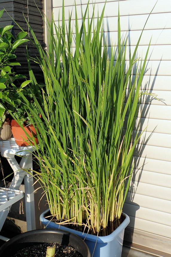 穂が垂れるバケツ稲