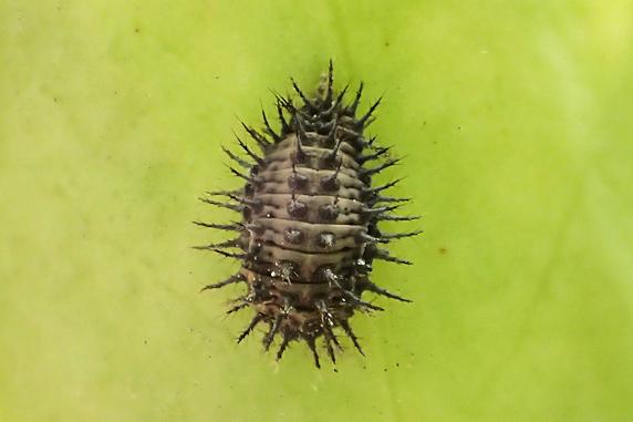 ヒメアカホシテントウの前蛹