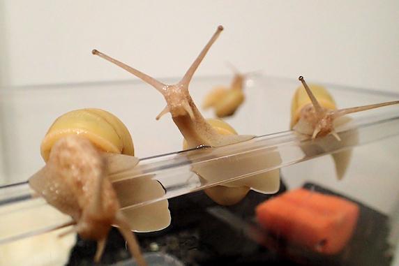 カタツムリにベランダ菜園のニンジンをあげた Part1