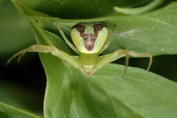 トナカイのハナグモ